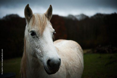 photo © angelle cheval soir crépuscule portrait animal attentif expressif pré foret ami