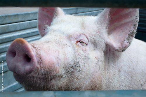 photo © angelle cochon plaisir élevage soleil tranquille serein sourire animal porc