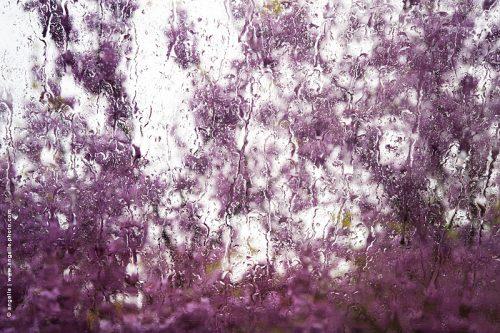 photo © angelle pluie printemps fleurs arbre de judo transparence goutes chemins rose fleuri mystère