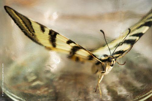 photo © angelle grand papillon flambé protege danseur envol echapper bocal matière insecte voler