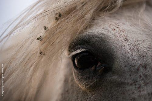 photo © angelle oeil cheval mouche crinière soirée regard dialogue douceur fatigue