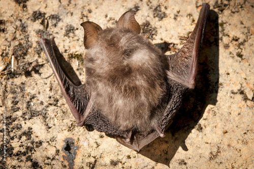 photo © angelle chauve souris animal rare accrochée surprise etrange