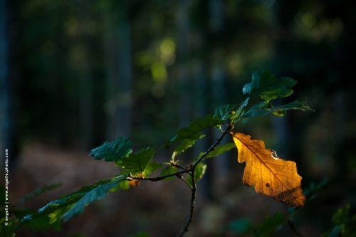 photo # angelle feuilles chene orange foret lumiere surprise