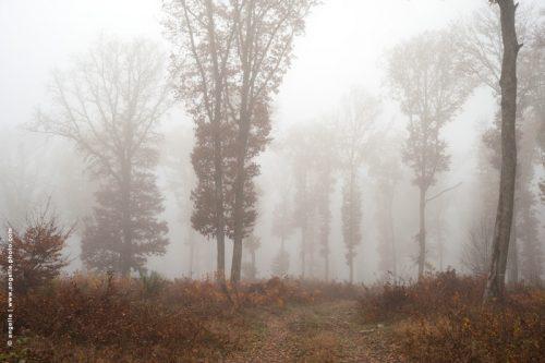 photo © angelle arbres chênes brouillard automne hivers étrange géant douceur égarement