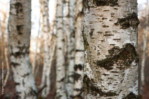 photo © angelle bouleaux arbres foret marelle enchevetrementmatiere ecorce lumineux balade hivers