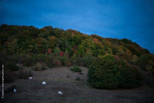 photo © angelle pre vaches automne couleur soir crépuscule taches douceur paysage campagne élevage