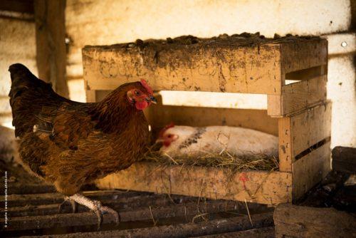 photo © angelle poules pondeuses couve ma poule ferme campagne intérieur animaux domestiques