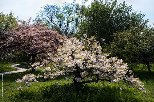 photo © angelle arbre en fleurs cerisier grâce fleurs composé chemin parc printemps