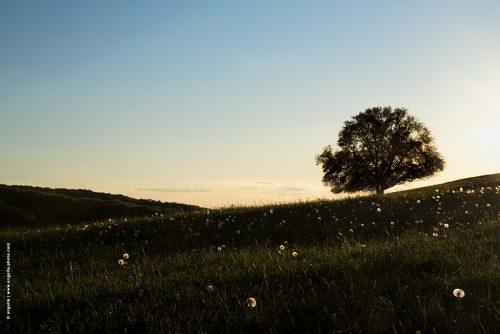 photo © angelle paysage arbre pissenlits étoiles ciel crépuscule pré