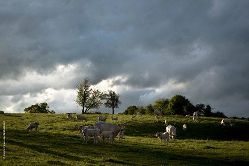 photo © angelle pré vaches veaux printemps campagne nièvre bourgogne ciel lumiere soirée groupe vie sociale