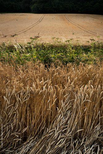 photo © angelle ble moisson nature espace récolte campagne paysans douceur