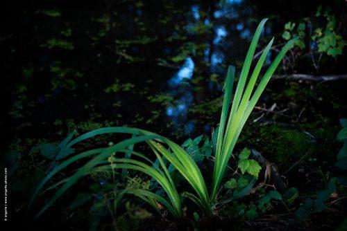 photo © angelle plante aquatique canal soir crépuscule lumiere bleu vert douceur