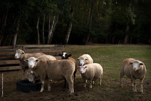 photo © angelle mouton belier groupe regard campagne bourgogne photo de famille élevage