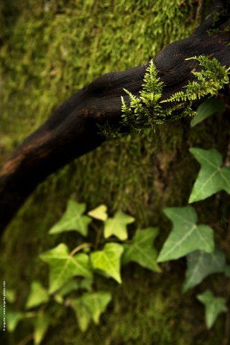 photo © angelle arbre mousse lierre foret vert verdure ligne