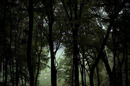 photo © angelle foret arbre campagne 3 vaches brume soirée premier plan avant espace pré vert