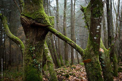 photo ©angelle foret arbres mousse vert brouillard étrange avaler fantastique fusion