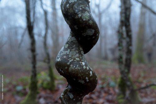 photo © angelle foret hivers hetre noueux soirée forme spirale enchevêtrer étrange bourgogne nièvre