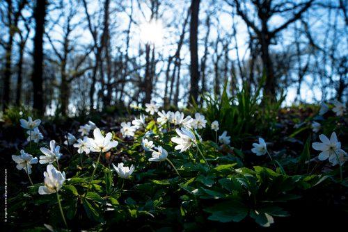photo © angelle fleurs blanches printemps soleil foret lumiere fragile mouvement