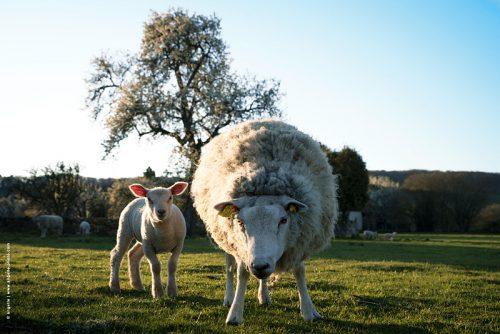 photo © angelle mouton agneau regard défendre laine lumiere bucolique soirée printemps