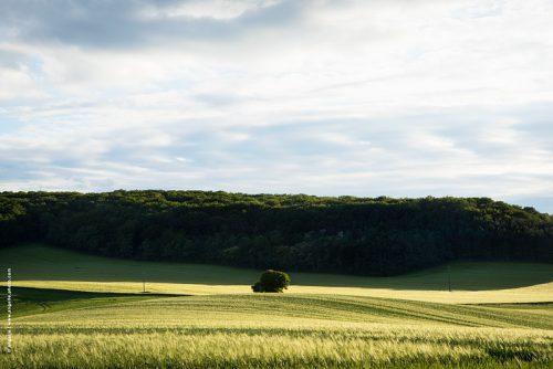 photo © angelle paysage blé vague douceur arbre foret printemps soirée mouvement