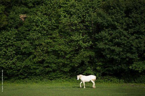 photo © angelle campagne cheval mouvement foret écho paysage