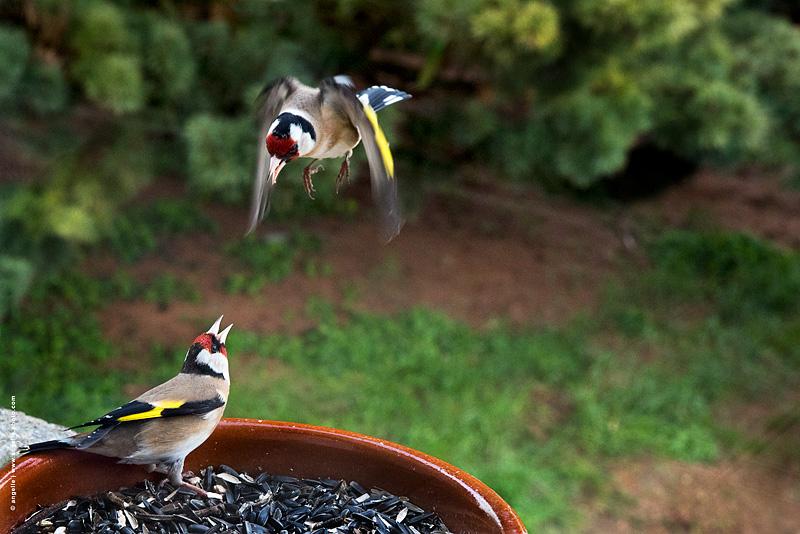 photo © angelle chardonerais combat fenetre etonnant nature oiseau nouriture graine jardin conflit