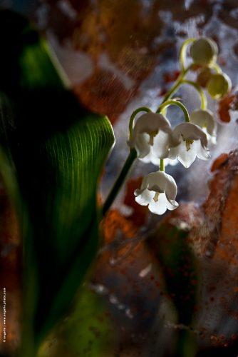 photo © angelle muguet foret premier mai fleur mysterieuse