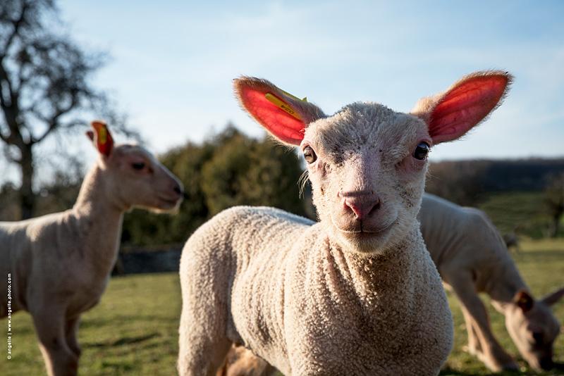 photo © angelle agneau chauve souri sourire oreilles mouton elevage regard portrait animal