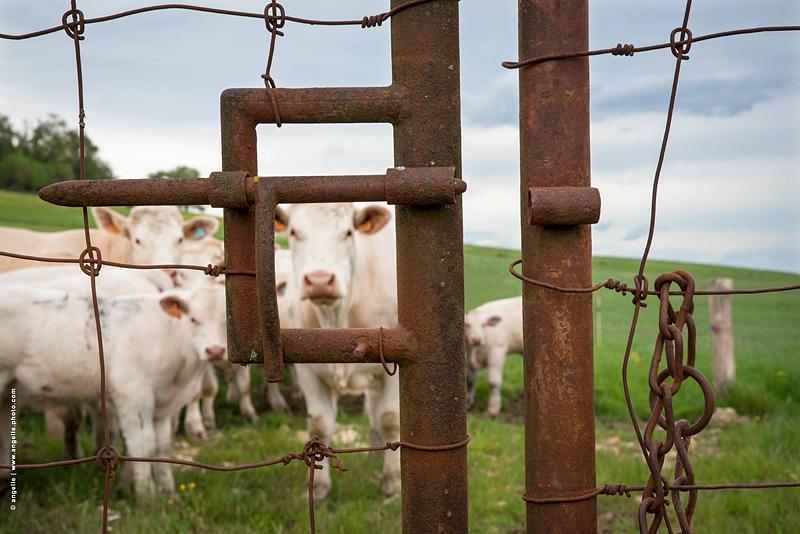 photo © angelle vaches troupeau printemps elevage portrait grille pre