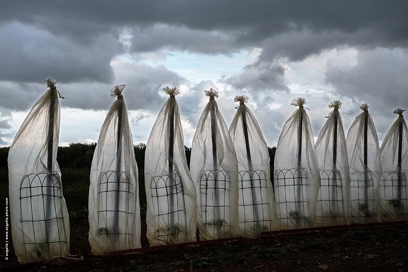 photo © angelle fantome danse vent plan de tomates proteger transparence