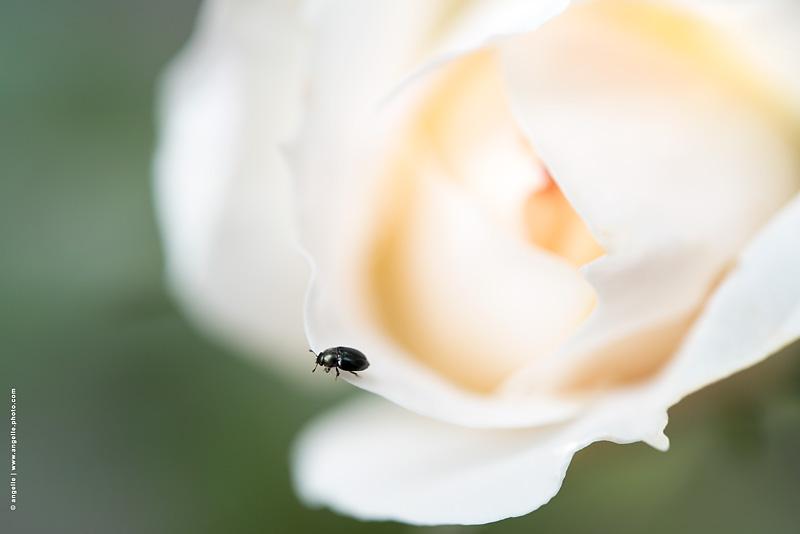 angelle © photo rose clarte doucuer coleoptere surprise delicatesse