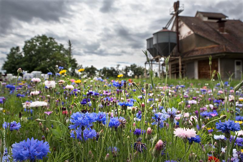 photo © angelle ete calmpagne jachere fleuri reserve de grain sillo couleur